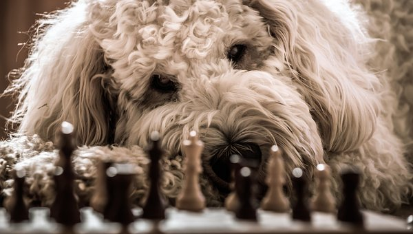 Dog, Goldendoodle, Chess, Play, Hybrid