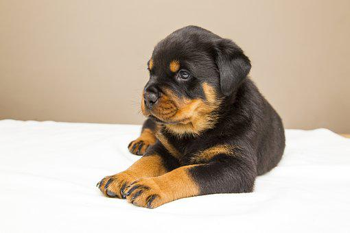 100 Free Rottweiler Dog Images Pixabay