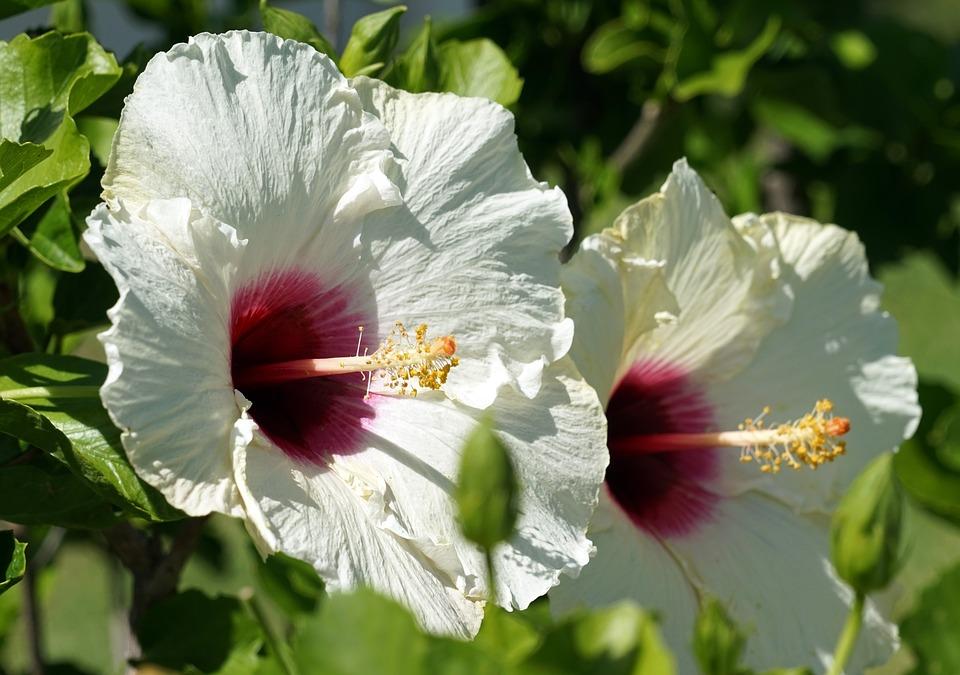 Hibiskus Blüte Weiss · Kostenloses Foto auf Pixabay