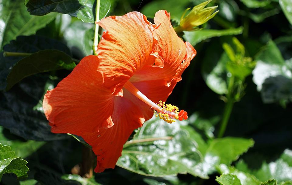 hibiscus, flower  free images on pixabay, Natural flower