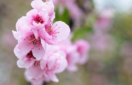 Peach Blossom Spring Pink Flowers