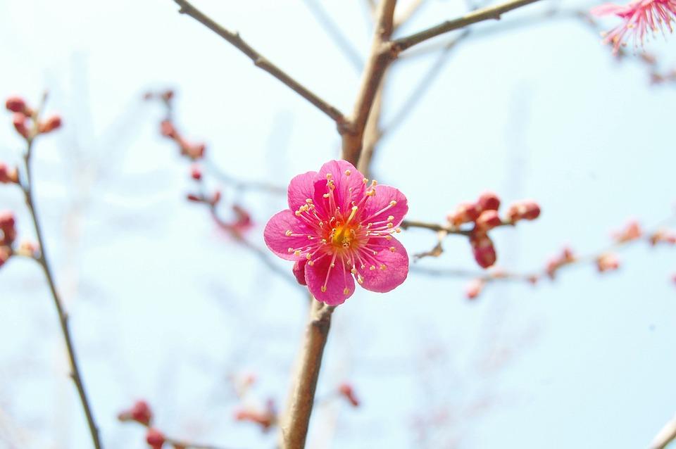 紅梅, 梅, 春の花, ばね, ピンクの花, 4月, 韓国, 桜, 花の木, 花, ピンク, 暖かい, 愛