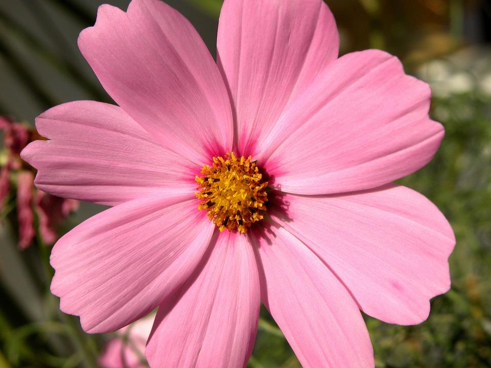 Cosmos Flower Pink Free Photo On Pixabay