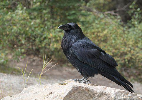 Corbeau, Crow, Bird, Noir, En Volant