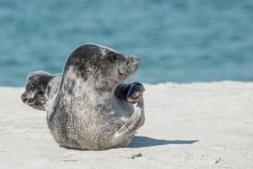 Grey Seal, Crawl, Animal, Sea Animal