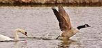 swan, wild goose, hunt