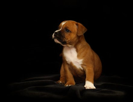 Teacup American Staffordshire Terrier Puppies For Sale in California, CA