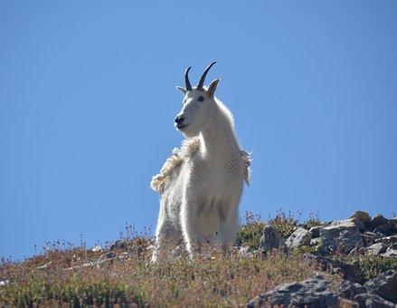 Chèvre, Montagne, Sauvage, Des Animaux