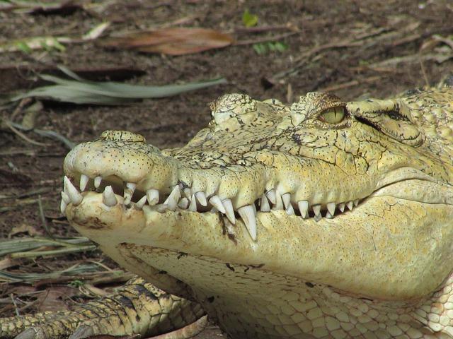crocodile wild reptile  u00b7 free photo on pixabay