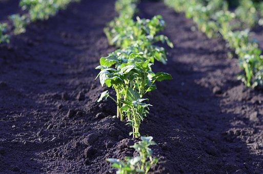 フィールド, ジャガイモ, 収穫, 着陸, 農業, 工場, グリーン, 夏