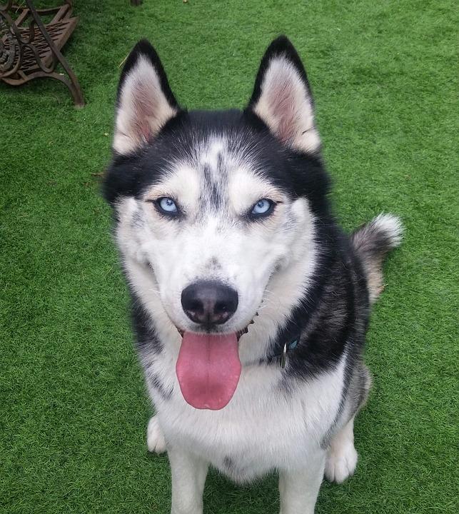 Husky Dog Pet Free Photo On Pixabay