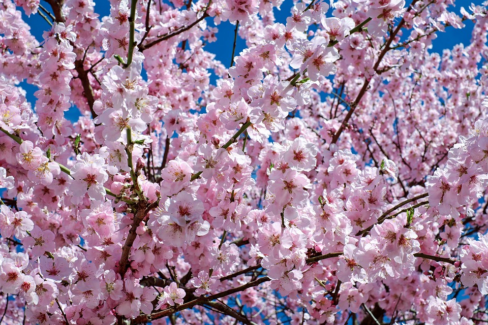 Japanese Cherry Trees Flowers Pink Free Photo On Pixabay