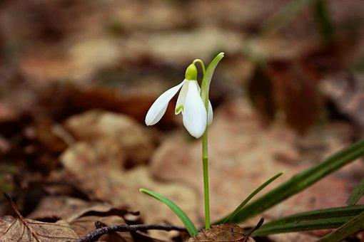 スノー ドロップ, 花, 植物, 春