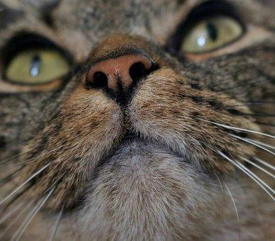 Plešatý kočička mladý