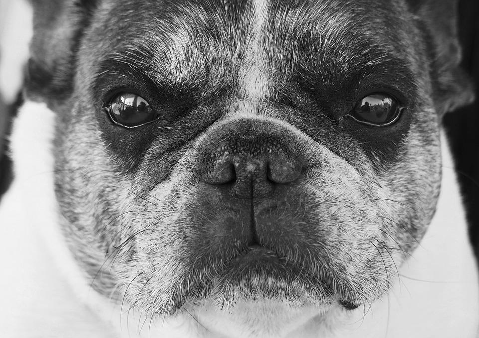 Solid Black French Bulldog Puppy