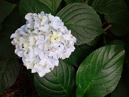 hydrangea pure white hydrangea - White Hydrangea