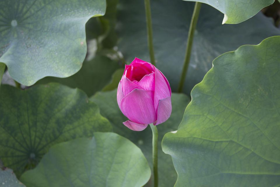 free photo lotus, flowers, lotus leaf  free image on pixabay, Natural flower