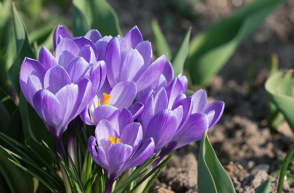 aafro flor primavera flores da primavera roxo