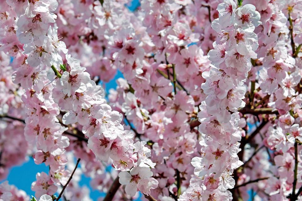 Photo gratuite cerisiers japonais fleurs rose image gratuite sur pixabay 2172133 - Arbre rose japon ...