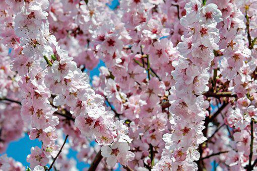 Japanese cherry blossom images pixabay download free pictures japanese cherry trees flowers pink mightylinksfo