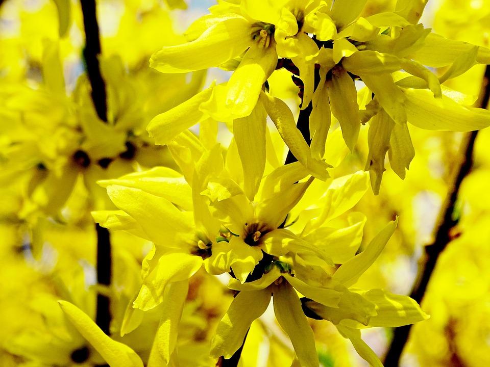 forsythia, flowers  free images on pixabay, Beautiful flower