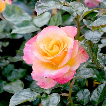 Yellow pink rose images pixabay download free pictures rose yellow pink floral flower mightylinksfo