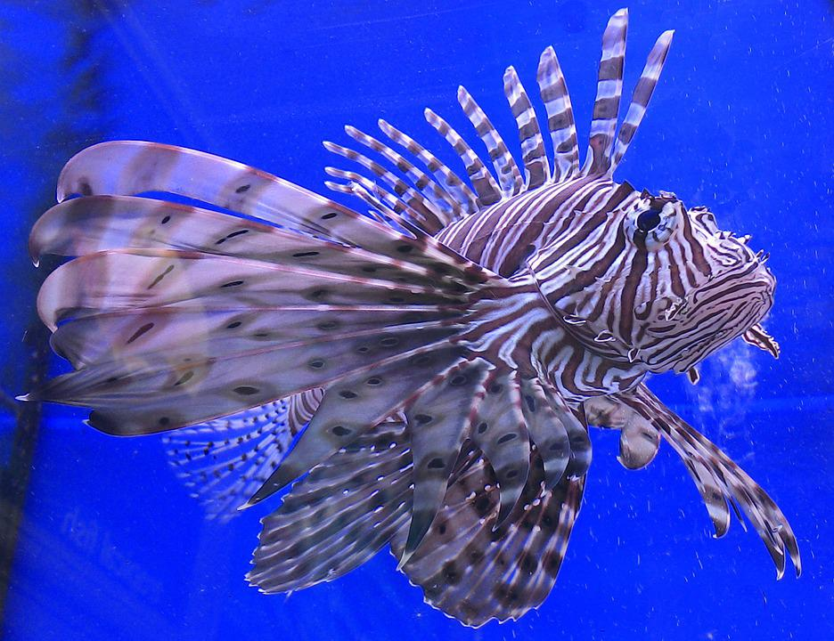 Lion Fish, Fish, Aquatic
