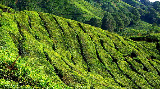 Tea Plantation, Green, Field, Plantation