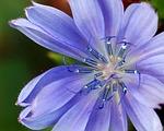 flower, wildflower, blue