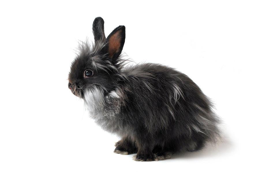 sort kanin