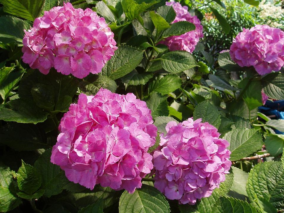 hydrangea juni blomster blomsten gratis foto p pixabay. Black Bedroom Furniture Sets. Home Design Ideas