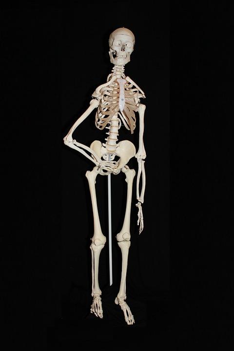 human, skeleton - free images on pixabay, Skeleton
