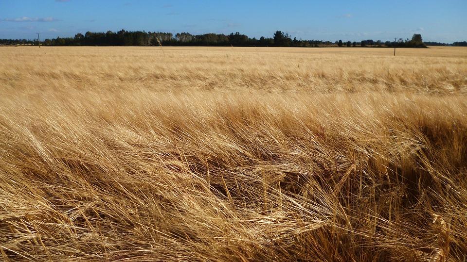 麦畑, 強風分野, 地平線, 農業, 夏, 屋外, 自然