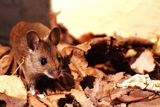 木マウス, Nager, かわいい, 小, 茶色, マウス, 自然, 哺乳類