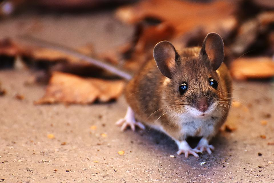 Free Photo Wood Mouse Nager Cute Small Free Image On