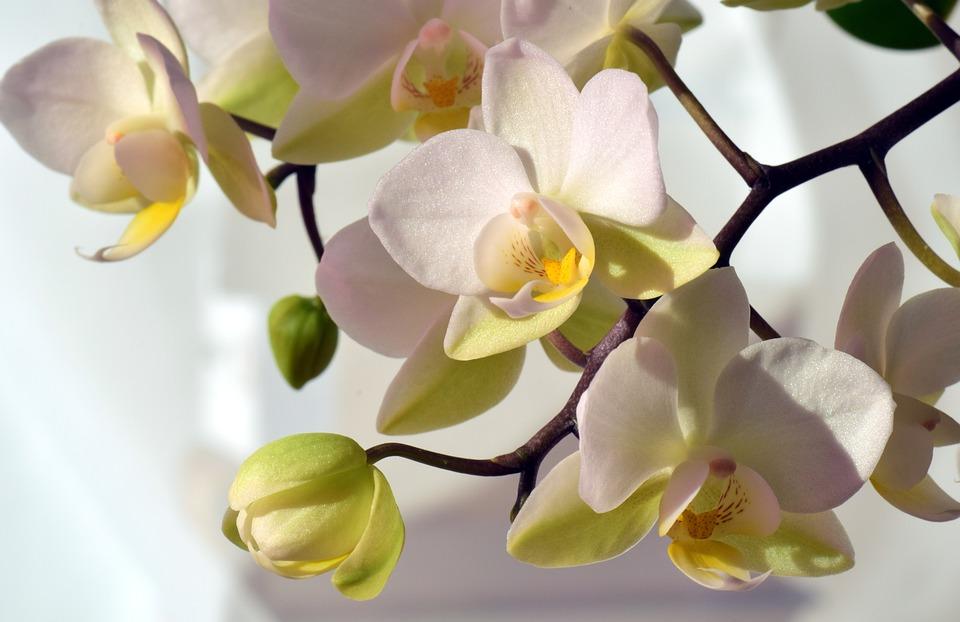 orchid white  u00b7 free photo on pixabay