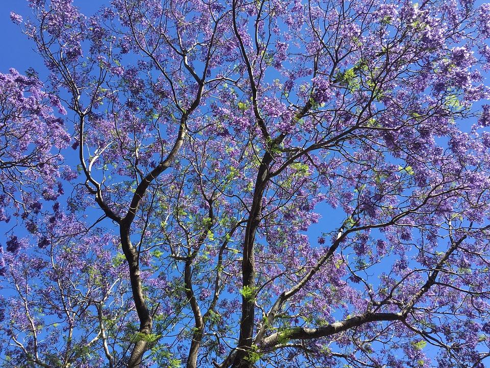Tree australia spring free photo on pixabay tree australia spring color flowers landscape mightylinksfo