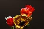 tulips, tulipa, lily