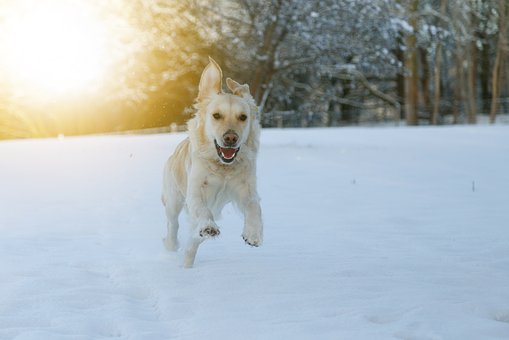 Dog, Race, Snow, Happy, Play, Pets