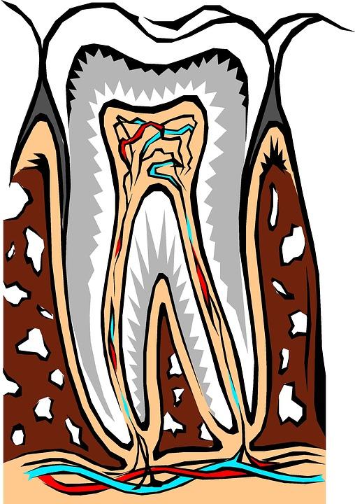 Tooth, Cross Section, Dental, Dentist, Dentistry