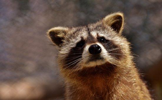 Raccoon, Wild Animal, Furry, Mammal