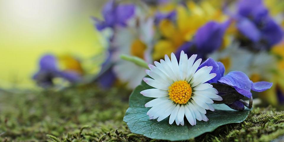 free photo wildflowers, wild flowers, daisy  free image on, Beautiful flower
