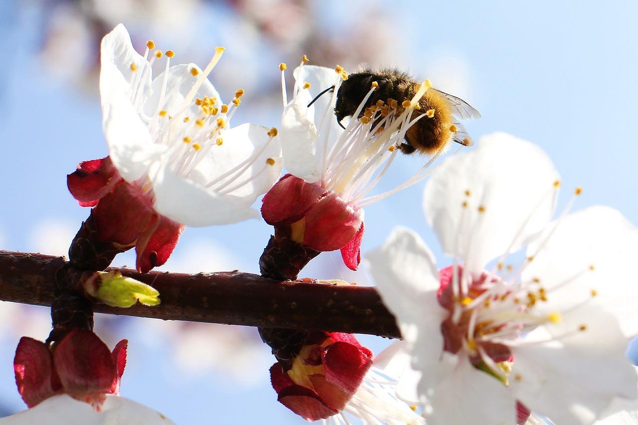 сложных случаях абрикос вишня в цвету фото профессионал