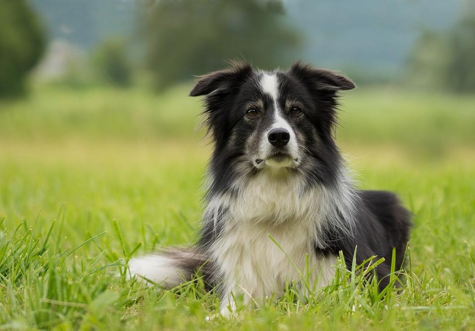 Border Collie Dog British · Free Photo On Pixabay