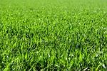 łąka, pole, zielony