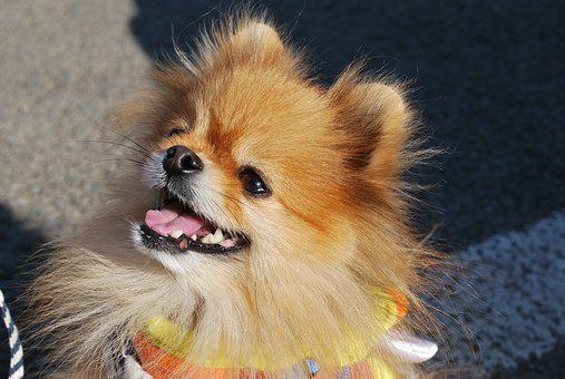 Pomeranian, Dog, Smile, Pet, Happy