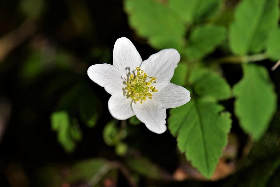 Vitsippa, Blomning, Vit, Våren, Växt, Stäng