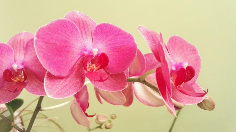 butterfly orchid orchid orchids - Orchid