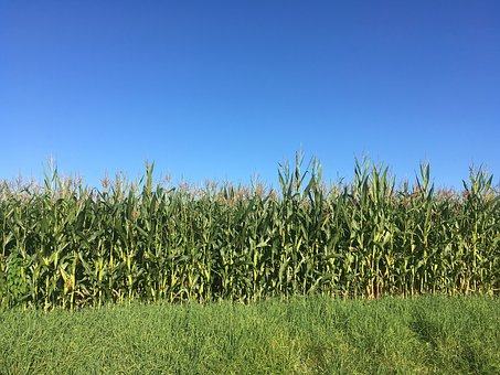 Corn, Field, Blue, Heaven, Agriculture