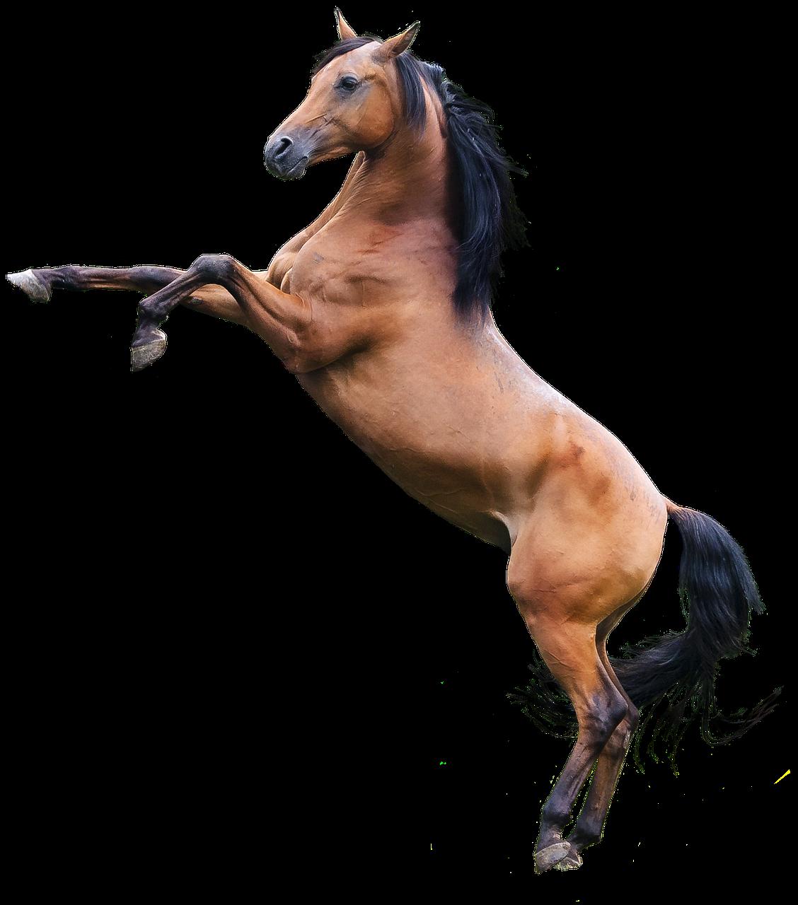 Arabian Horse Stallion Free Photo On Pixabay